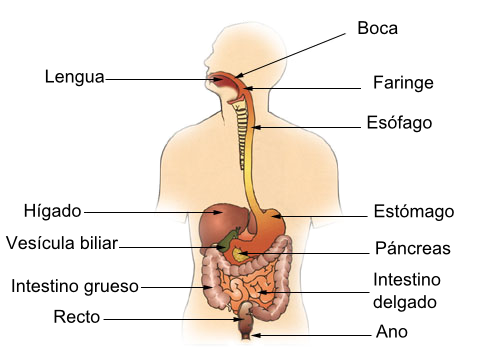 Nuestros órganos: el intestitno.